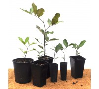 Tuckeroo Seedlings and Saplings (Cupaniopsis anarcardiodes)